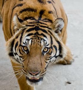 ตะกรุดพญาเสือ เสริมบารมี เสริมลาภเสริมดวง ปลุกเสกโดยพระเกจิอาจารย์สายล้านนา และสายเขมร ๗ วาระ ๗ พิธี:02187